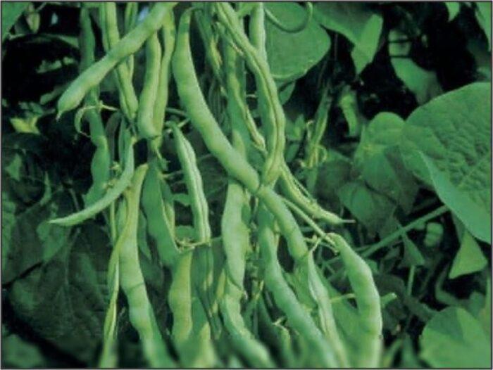 Bean Bush- Kentucky Wonder