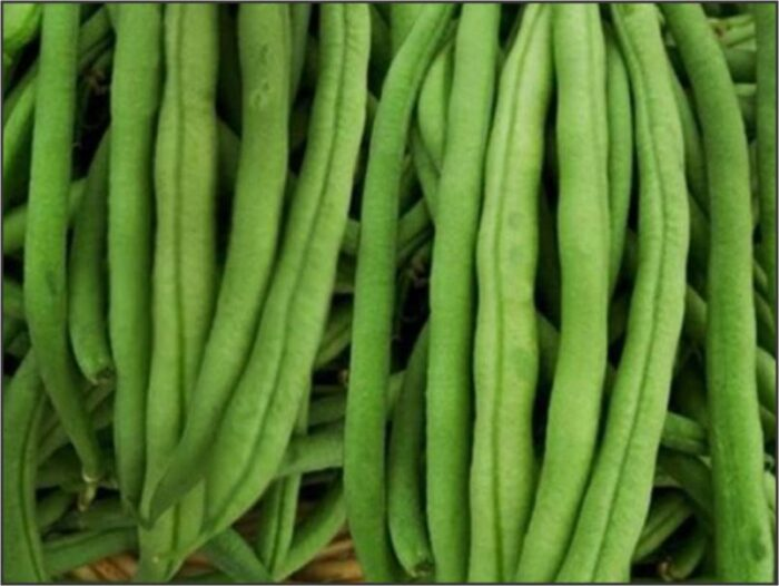 Bean Bush - Piedmont Wonder