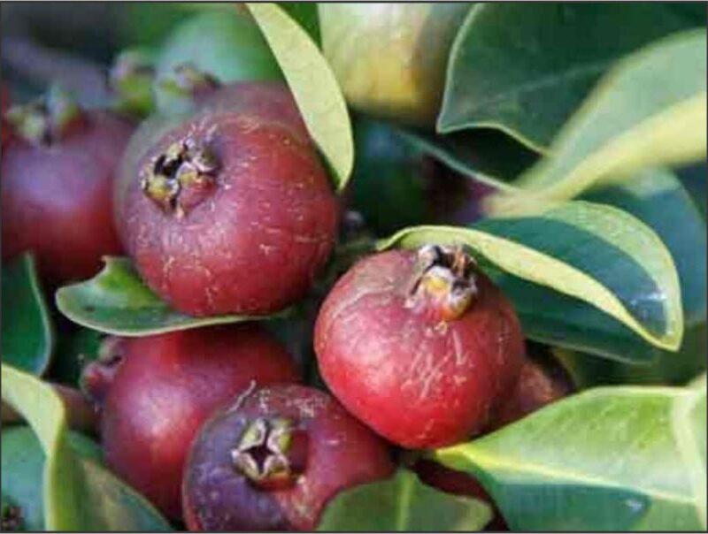 Cherry Guava Trees