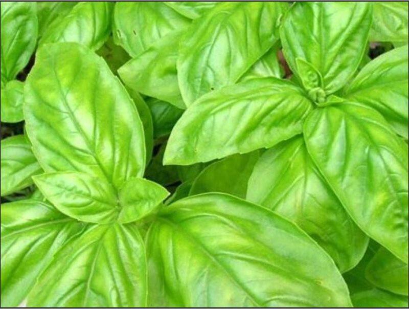 Herb Basil Sweet Large Leaf