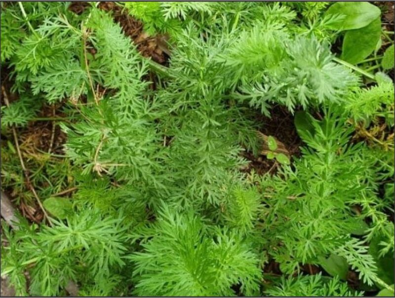 Herb Cumin