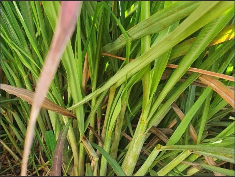 Herb Lemon grass