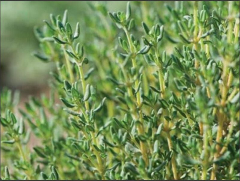 Herb Thyme - 15cm seedlings