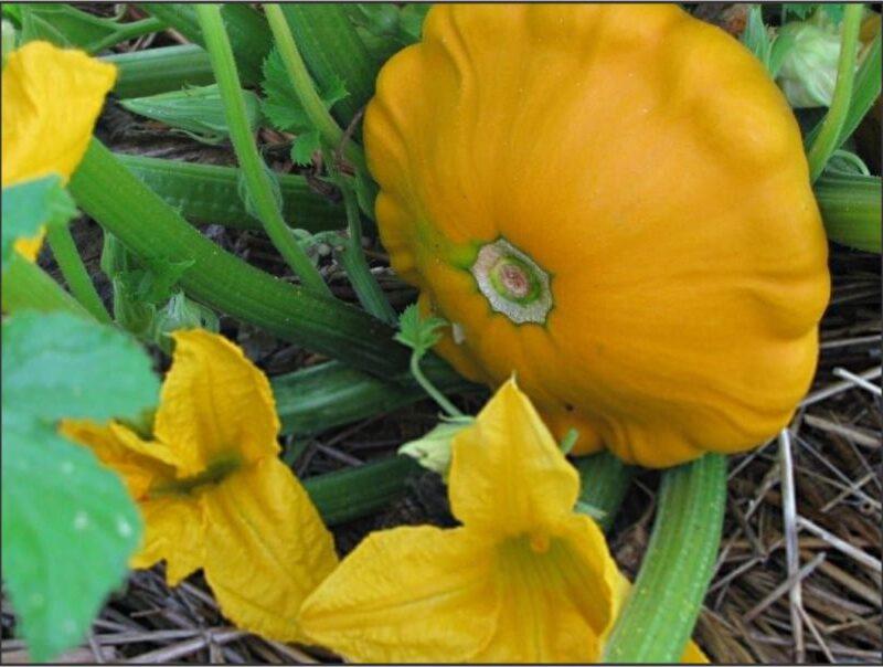 Melon Patty Pan Yellow Scallop