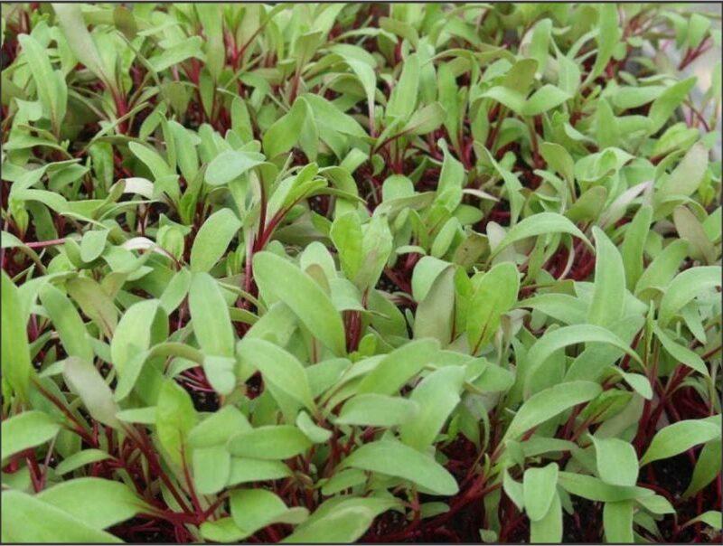 Microgreens Beetroot Bulls Blood