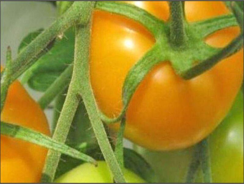 Tomato Golden Jubilee