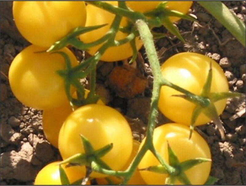 Tomato Yellow cherry